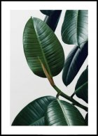 Rubber Plant Leaves Poster